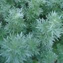 Artemisia absinthium AJENJO / ABSENTA (100 semillas)