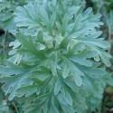 Artemisia absinthium AJENJO, ABSENTA (planta)