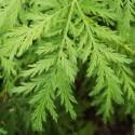 Artemisia annua ARMOISE ANNUELLE / CHINOISE (plante)
