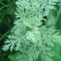 Artemisia pontica PONTICO (planta)