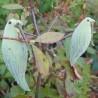 papageienpflanze