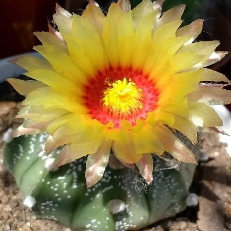 cactus-oursin