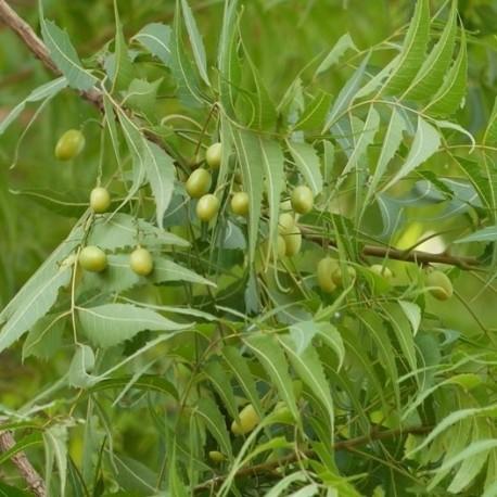 neem-margousier