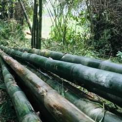 Bambusa arundinacea MEDIZINISCHER BAMBUS / DORNENBAMBUS (10 samen)