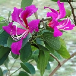 Bauhinia purpurea ORCHID TREE (6 seeds)