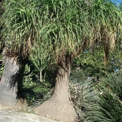 Beaucarnea recurvata PATA DE ELEFANTE (7 semillas)