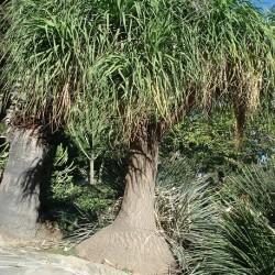 Beaucarnea recurvata ARBRE BOUTEILLE / PIED D'ÉLÉPHANT (7 graines)