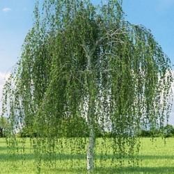 Betula pendula BOULEAU BLANC (25 graines)