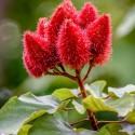 Bixa orellana ACHIOTE / URUCUM (20 semillas)