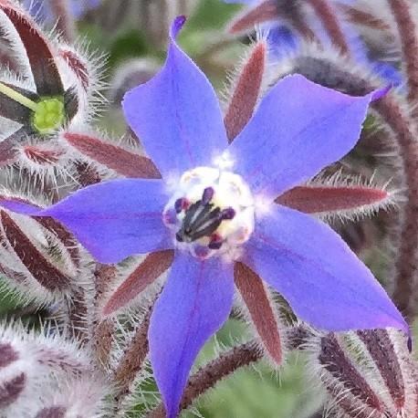 bourrache-fleur