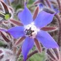 Borago officinalis BORAGE (15 seeds)