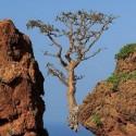 Boswellia sacra FRANKINCENSE TREE (5 seeds)