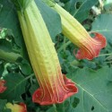 Brugmansia sanguinea BRUGMANSIA ROJA (planta)