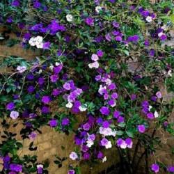 Brunfelsia grandiflora BRUNFELSIA (5 seeds)