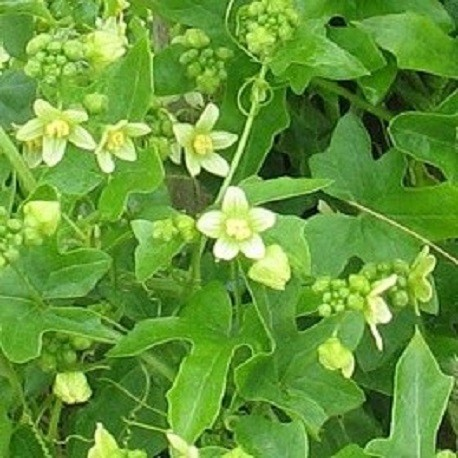 bryony-seeds