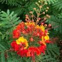 Caesalpinia mexicana BIRD OF PARADISE (5 seeds)