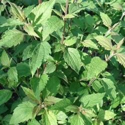 Calea zacatechichi HERBE RÊVEUSE (plante)
