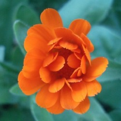 Calendula officinalis POT MARIGOLD (15 seeds)