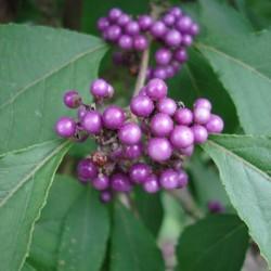 Callicarpa bodinieri SCHÖNFRUCHT, LIEBESPERLENSTRAUCH (pflanze)