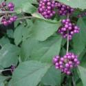 Callicarpa bodinieri BAYAS BONITAS (20 semillas)