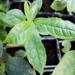 Camellia sinensis THÉIER / ARBRE À THÉ (6 graines)