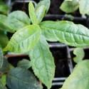 Camellia sinensis ARBOL DEL TÉ (6 semillas)