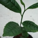 Camellia sinensis CHINESE TEA (plant)