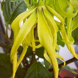 Cananga odorata YLANG-YLANG (10 samen)