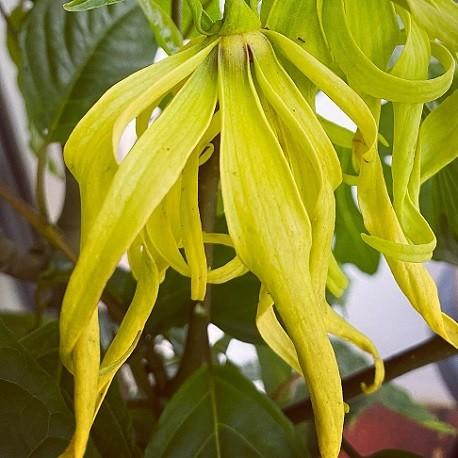 ylang-ylang-seeds
