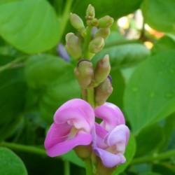 Canavalia rosea maritima FRIJOL ESPADA (3 semillas)