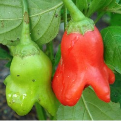 Capsicum baccatum BALLOON PEPPER / BISHOPS CROWN (5 seeds)