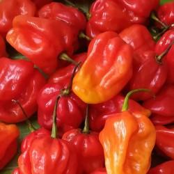 Capsicum chinense CHILE HABANERO (10 semillas)