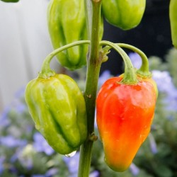 Capsicum chinense CARIBBEAN RED PEPPER (10 seeds)