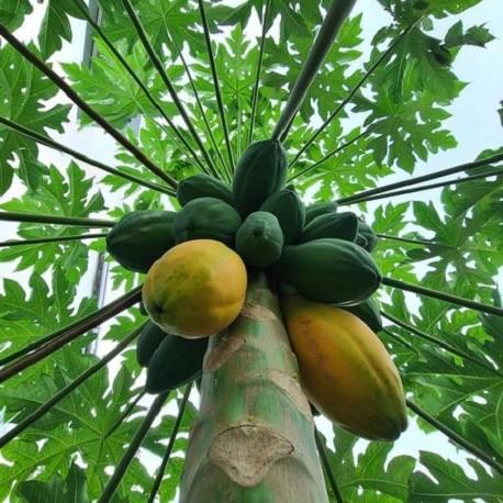 melonenbaum-papaya-samen