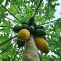 Carica papaya MELONENBAUM / PAPAYA (10 samen)