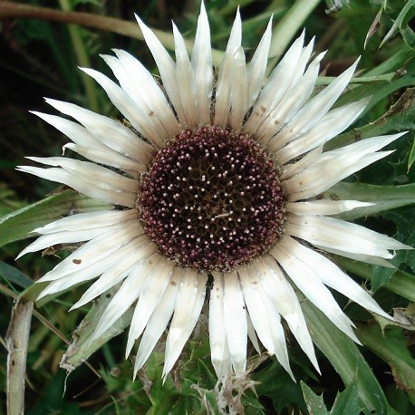 stemless-carline-thistle-seeds