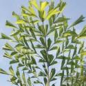 Caryota mitis FISCHSCHWANZPALME (5 samen)