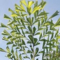 Caryota mitis PALMIER QUEUE DE POISSON (5 graines)