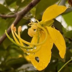 Cassia fistula CAÑA FÍSTULA (5 semillas)