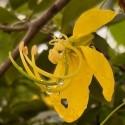 Cassia fistula CANÉFICIER / SÉNÉ (5 graines)
