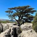 Cedrus libani LIBANON ZEDER (5 samen)
