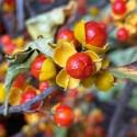 Celastrus paniculatus PLANTA DEL ACEITE NEGRO (10 semillas)