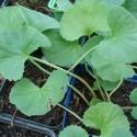 Centella Hydrocotyle asiatica PLANTE DU TIGRE, GOTU-KOLA (plante)