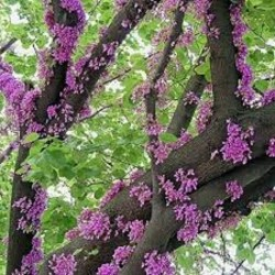 Cercis siliquastrum JUDAS TREE / LOVE TREE (10 seeds)