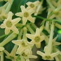 Cestrum parqui CHILEAN CESTRUM / NIGHT BLOOMING JASMINE (5 seeds)