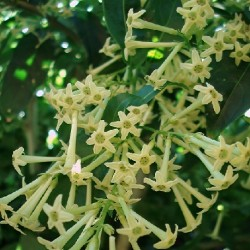 Cestrum parqui CHILENISCHE HAMMERSTRAUCH (pflanze)