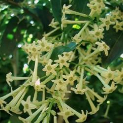 Cestrum parqui JASMIN DE NUIT (plante)