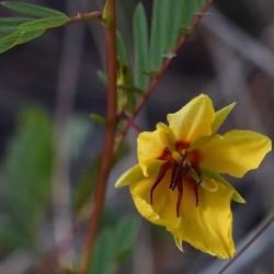 Chamaecrista fasciculata PLANTE SENSORIELLE (10 graines)