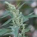 Chenopodium album CENIZO BLANCO (50 semillas)