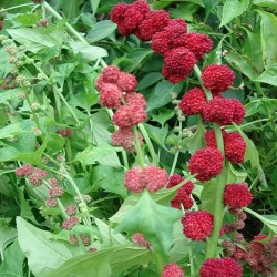 Chenopodium capitatum STRAWBERRY SPINACH (plant)